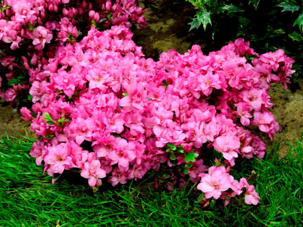 Rhododendron obtusum 'Rokoko', wintergrüne japanische Zwergazalee