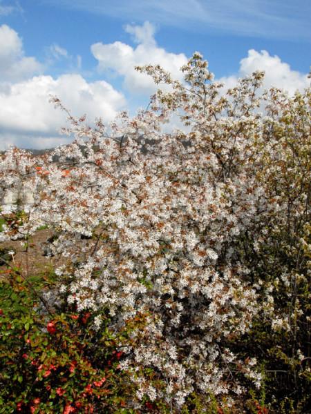 Hängende Felsenbirne in voller Blüte