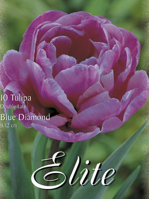 Gefüllte späte Tulpe 'Blue Diamond' (Art.Nr. 595408)