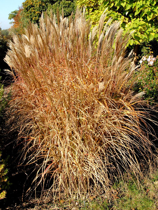 miscanthus sinensis 39 silberfeder 39 gartencenter shop24. Black Bedroom Furniture Sets. Home Design Ideas