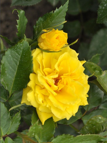 Blüte der Rose Friesia