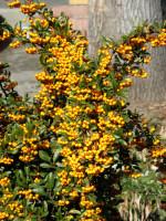 Pyracantha 'Soleil d'Or', gelbfruchtiger Feuerdorn