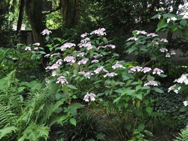 Teller-Hortensie Schattenpflanzung