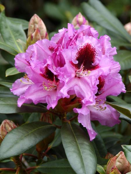 Rhododendron 'Kabarett' INKARHO®