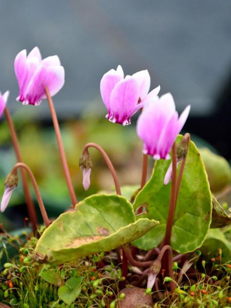 Cyclamen hederifolium 'Rosenteppich', (Garten-) Herbst-Alpenveilchen