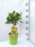 Limettenbaum 'Kaffir-Limette' - Lime Time®