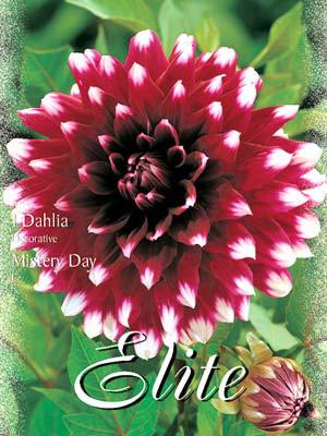Schmuck-Dahlie 'Mistery Day', Dahlia (Art.Nr. 520172)