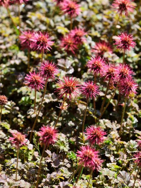 Das Stachelnüsschen in schönster Blüte