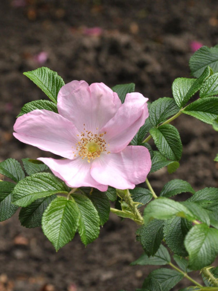 Blüte der Rose Dagmar Hastrup