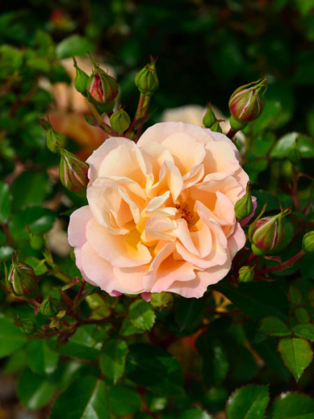 Blüte der Rose Cubana
