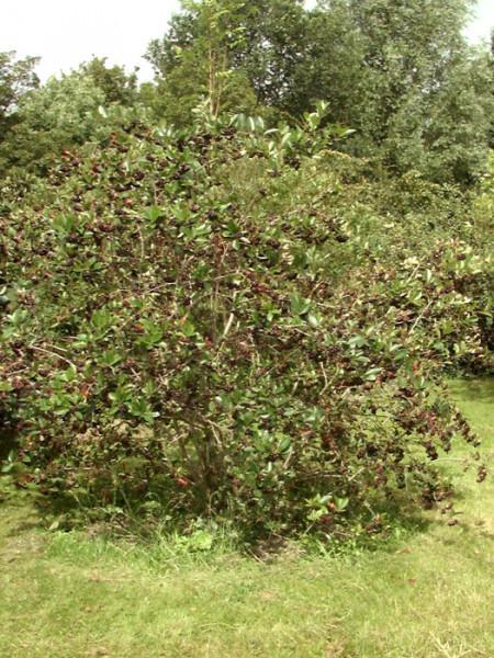 Strauch der Apfelbeere 'Nero'