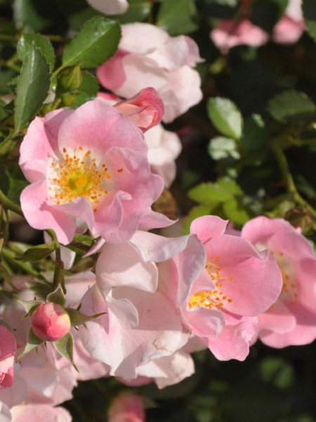 Blühende Rose Bingo Meidiland