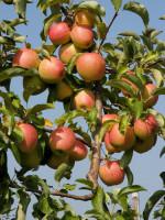 Apfel Pinova (S)
