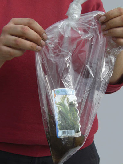Stratiotes aloides, Krebsschere, Wasseraloe