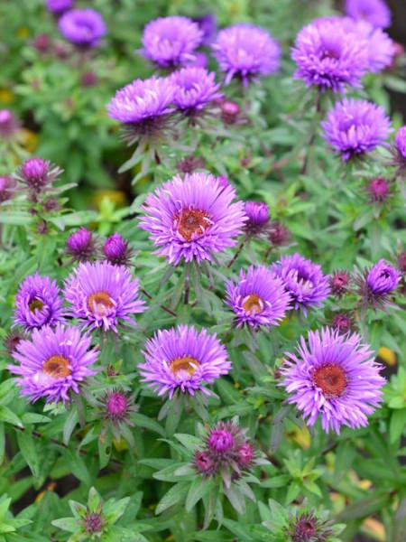Aster novae-angliae 'Purple Dome', Raublatt-Aster
