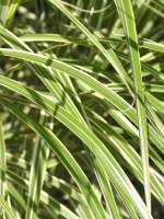 Miscanthus sinensis 'Variegatus', Weißbuntes China-Schilf