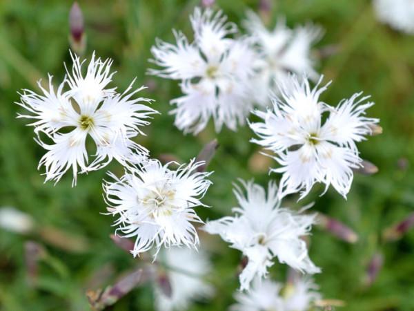Dianthus arenarius, Sandnelke, Heidenelke