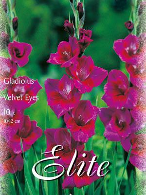 Großblumige Gladiole 'Velvet Eyes', Gladiolus (Art.Nr. 521316)