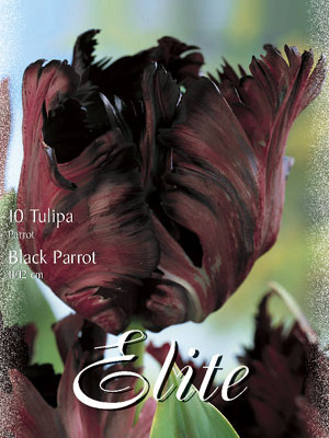 Papagei-Tulpe 'Black Parrot' (Art.Nr. 595550)