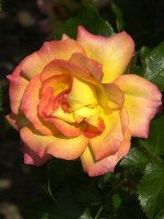 Rose Bonanza ® - Kordes