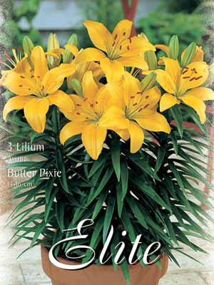 Topf- und Beet-Lilie 'Butter Pixie', Lilium (Art.Nr. 521770)