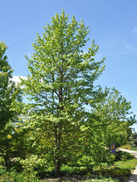 Amberbaum Pflanze