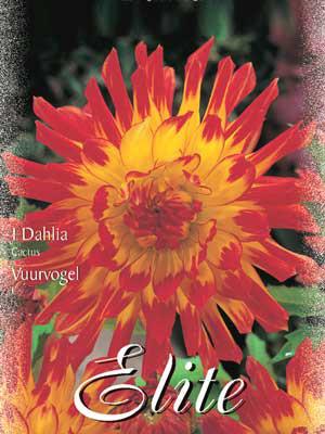 Kaktus-Dahlie 'Vuurvogel', Dahlia (Art.Nr. 520100)