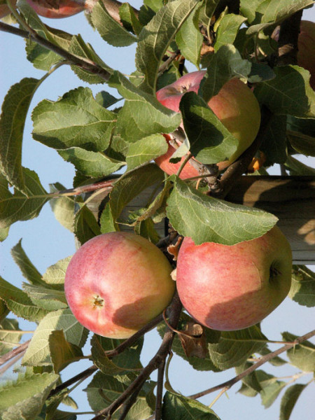 Apfel Cox Orangenrenette