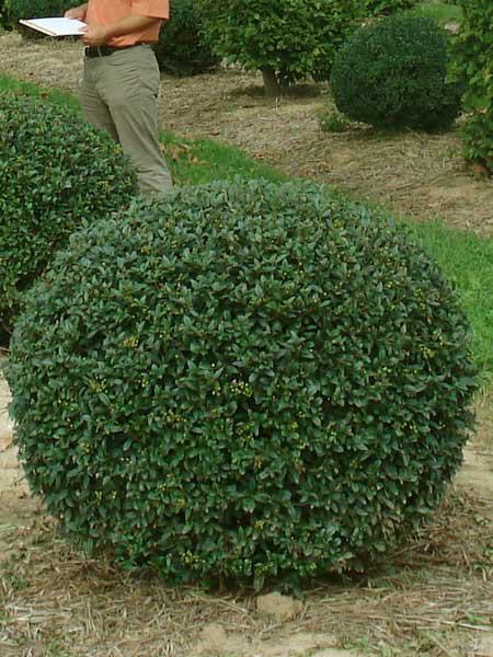 Ligusterkugel, Ligustrum vulgare atrovirens - XXL-Produkt