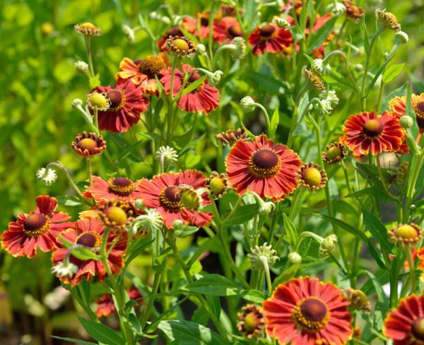 Helenium x cultorum 'Chelsey', Garten-Sonnenbraut
