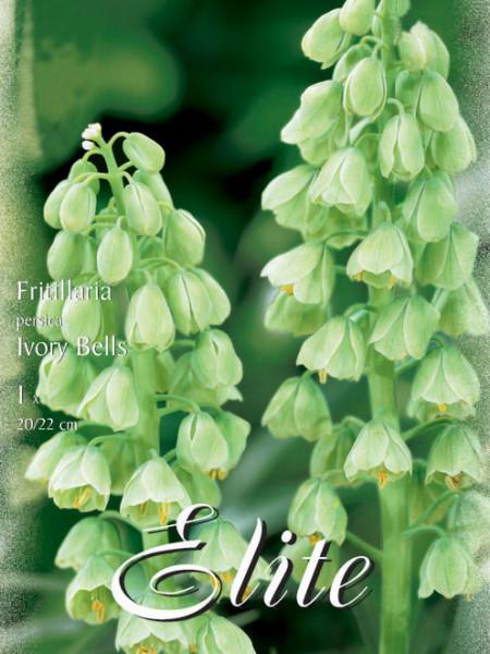 Kaiserkrone 'Ivory Bells', Fritillaria (Art.Nr. 596768)