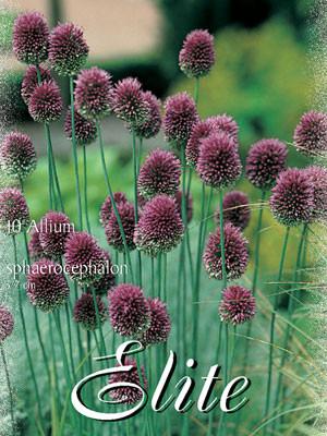 Allium 'Sphaerocephalon' (Art.Nr. 596336)