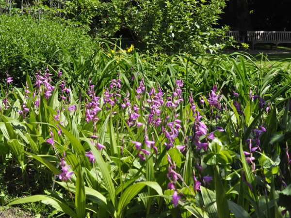 Bletilla striata, Freiland-Chinaorchidee, Japanorchidee