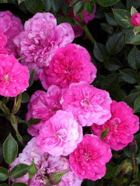 Blüte der Rose Knirps