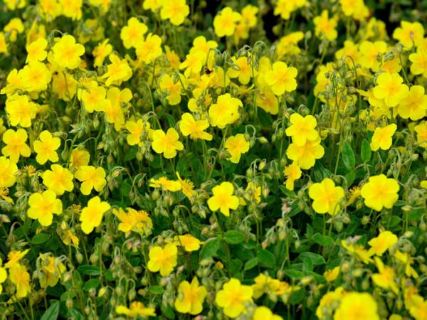 Bepflanzung mit dem Garten-Sonnenröschen 'Sterntaler'