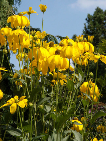 Rudbeckia nidita 'Herbstsonne', Fallschirm-Sonnenhut