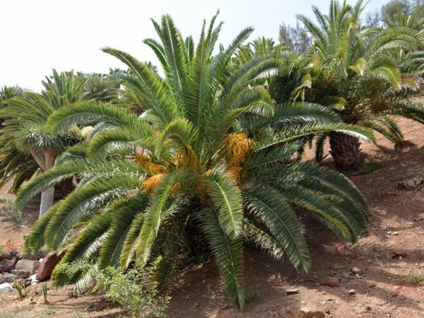 Dattelpalmen in einer Plantage