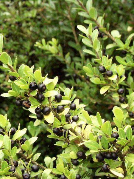Japan-Stechpalme Beeren