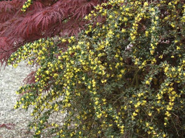 Die Warzenberberitze während der Blüte