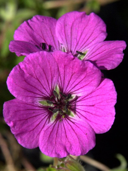 Geranium cinereum var. subcaulescens 'Splendens' Grauer Storchschnabel