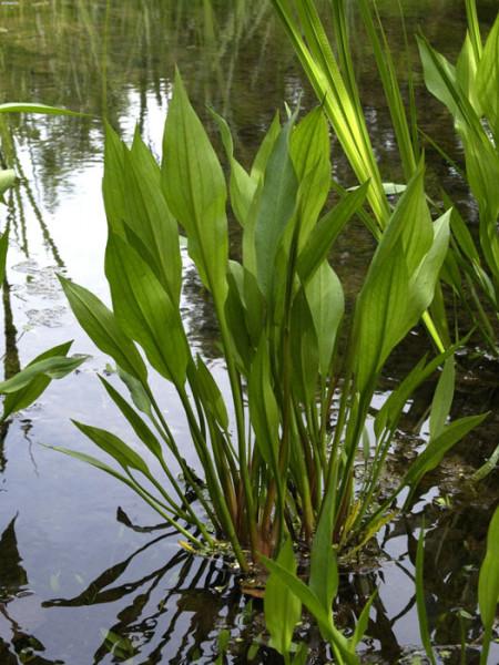 Alisma plantago-aquatica, Froschlöffel