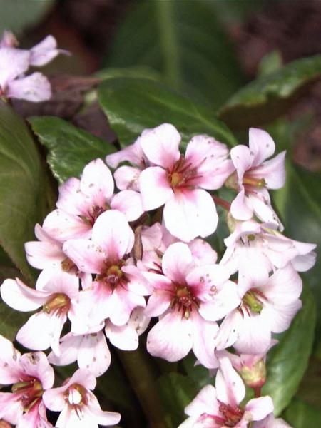 Zierliche Blütenpracht der Bergenie 'Biedermeier'
