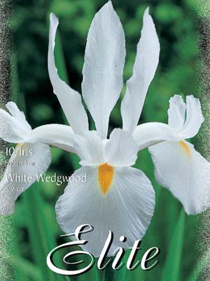 Holländische Iris 'White Wedgwood', Iris hollandica (Art.Nr. 596912)