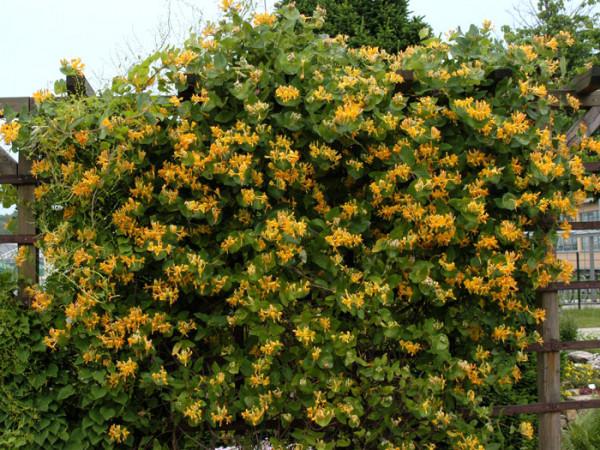 Das Gold-Geißblatt während der Blütezeit