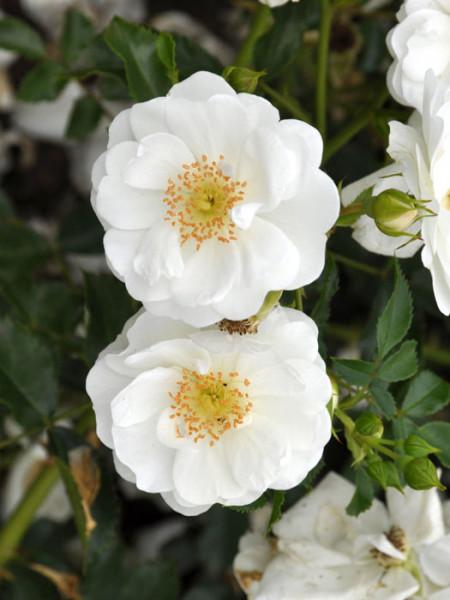 Blüte der Rose Innocencia