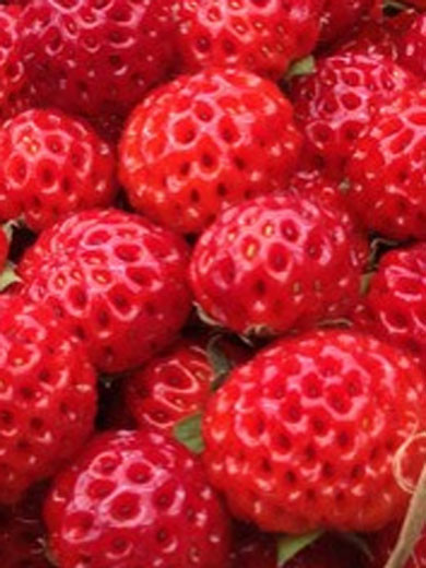 Erdbeere 'Framberry'®