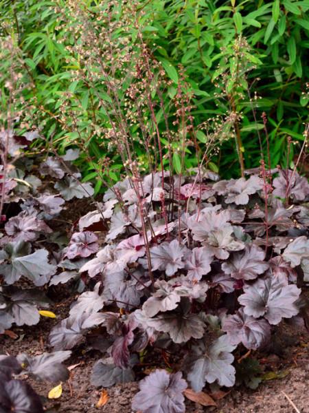 Heuchera x micrantha 'Obsidian', Purpurglöckchen, Purpurblatt