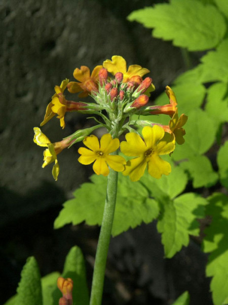 Primula bulleyana, Hohe Etagen-Primel