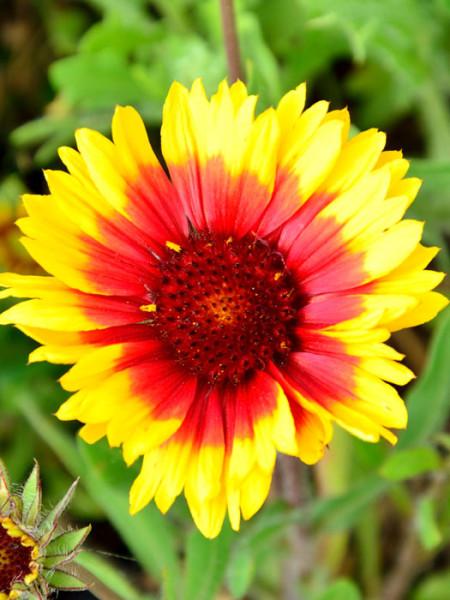 Mehrfarbige Blüte der Malerblume 'Kobold'