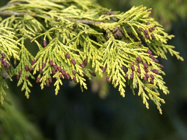Die Blüte der gelben Scheinzypresse